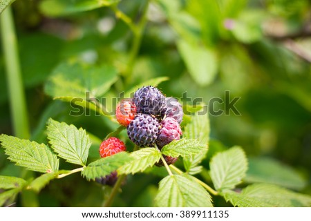 Close up black raspberry bunch of berries ripening on sunny day - stock photo