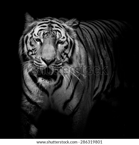 Close up black & white tiger growl isolated on black background - stock photo