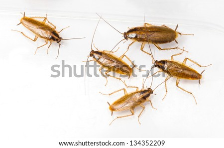 Close up blattella germanica german cockroach isolated on white - stock photo