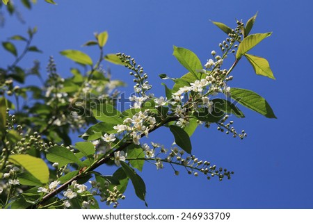 close-up blooming branch of bird cherry on a background of blue sky - stock photo