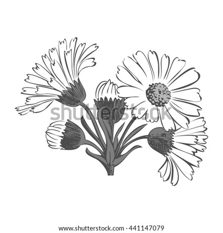 Close-up blooming flower chamomile isolated on white spring eco floral organic leaf line botanical curve symbol botanic summer pen drawing paint gray vertical daisy ink illustration stem flora retro - stock photo