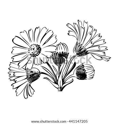 Close-up blooming flower chamomile isolated on white spring eco floral organic leaf line botanical curve symbol botanic summer pen drawing paint white vertical daisy ink illustration stem flora retro - stock photo