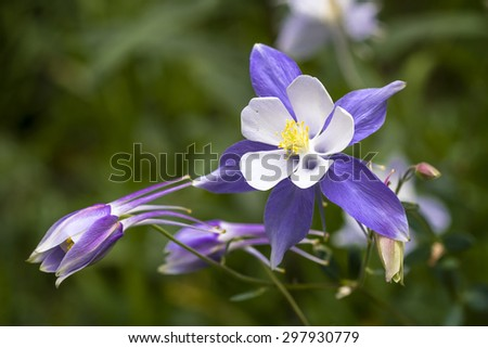 Close up blue Columbine wildflower blooms in mountain Aspen forest in early morning light - stock photo