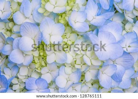 Close up Blue Hydrangea flower - stock photo