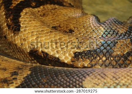 close up boa constrictor snake skin - stock photo