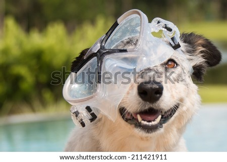 Close up border collie / Australian shepherd mix dog head in pool wearing goggles smiling looking happy excited joyful jovial ready to swim - stock photo