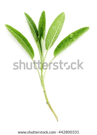 Close Up branch fresh sage leaves isolated on white background . Alternative medicine fresh salvia officinalis. - stock photo