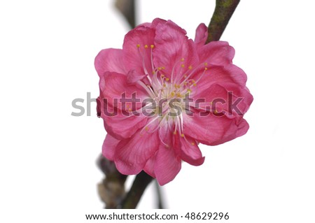 Close up Branch of red cherry flower - stock photo