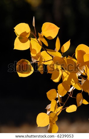 Close Up Branch of Yellow Autumn Aspen Leaves - stock photo