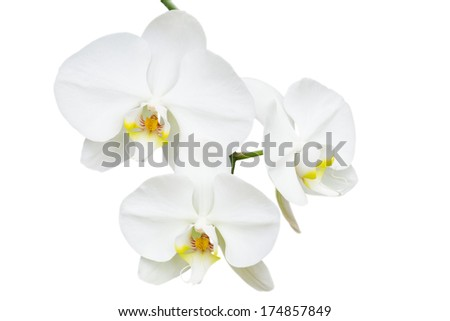 Close-up branch with three delicate white orchids flowers isolated