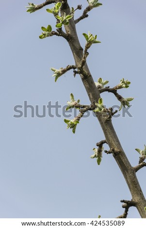 close up branch with young leaves ( bud ) in spring - stock photo
