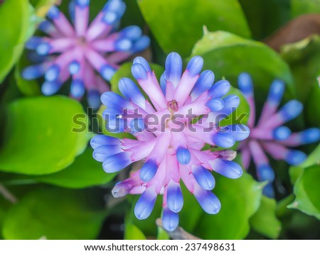 Close up Bromeliad flower, pink and blue color - stock photo