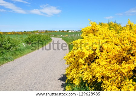close up Broom shrub and a back road in Scotland