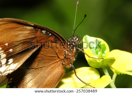 close up brown butterfly in garden ,thailand - stock photo