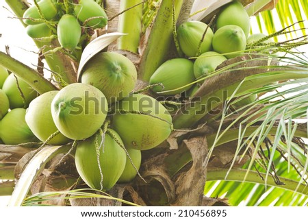 Close up bunch of fresh coconut on  palm tree - stock photo