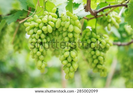 Close up Bunch of fresh green grapes on the vine with green leaves in vineyard - stock photo