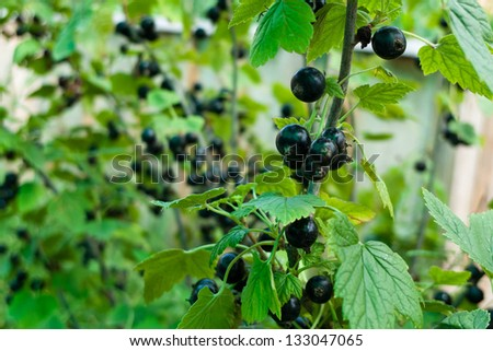 Close up bush bo berry - stock photo