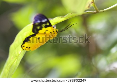 Close up butterfly of The Dysphania militaris under green leaves,Thailand