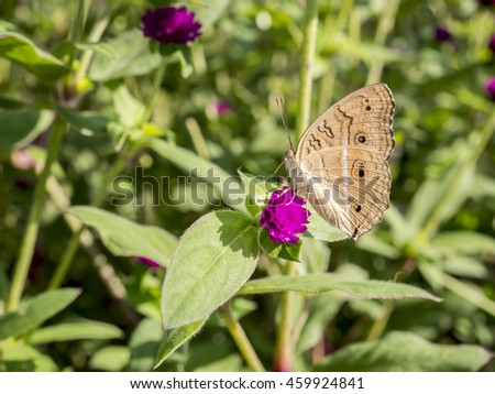 Close up butterfly on Globe amaranth flower under sunlight in the garden - stock photo