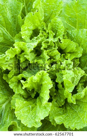 close-up cabbage - stock photo