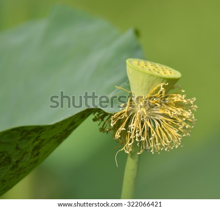 close up centre  of lotus pollen on pound - stock photo