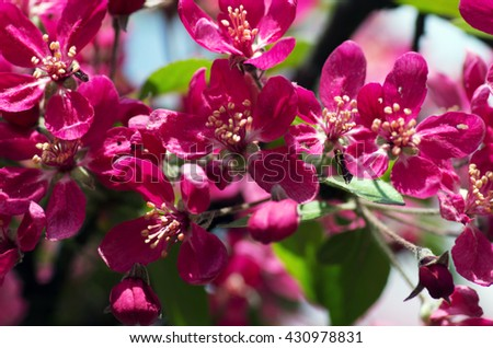 Close-up Cherry blossom Beautiful Flower in spring. Natural background, soft focus. - stock photo