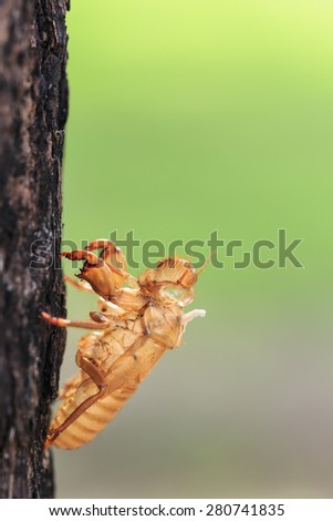 Close up Cicada slough or molt  hold on the tree