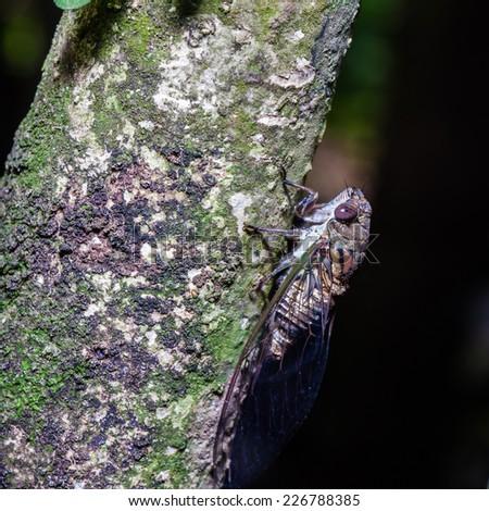 Close up cicada while holding on tree - stock photo