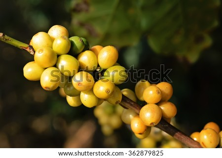 Close up Coffee cherries or coffee bean ripening on tree with sunlight. - stock photo