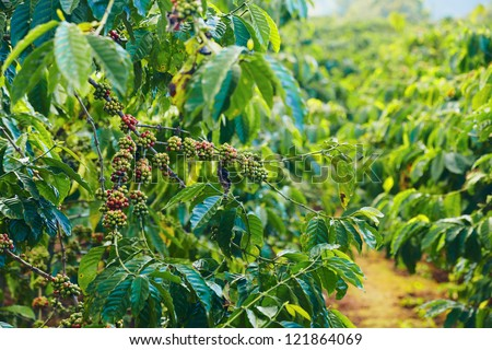 Close up coffee plants tree in mountains province, Vietnam - stock photo