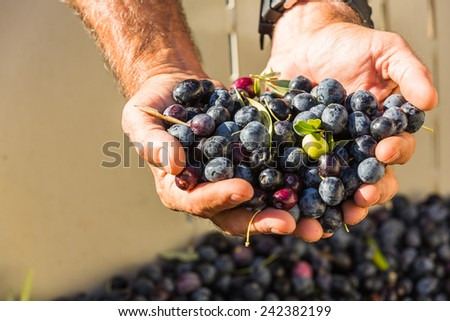 Close up color shot of a mans cupped hands full of multi colored olives at a olive harvest in Paso Robles, California - stock photo