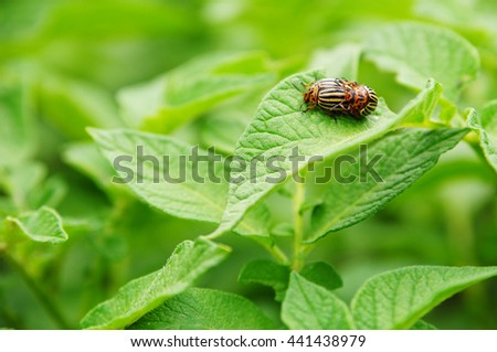 close-up Colorado potato beetle and larvae on the green leaf in the garden - stock photo