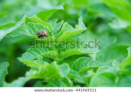 close-up Colorado potato beetle and larvae on the green leaves - stock photo