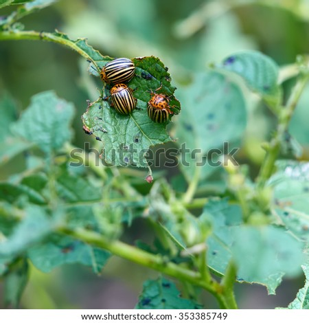 Close-up Colorado potato beetle on the green leaves of potatoes - stock photo
