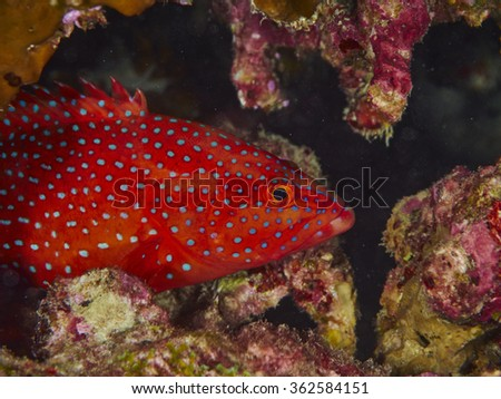 Close-up coral grouper with solf coral in similan, Thailand. - stock photo