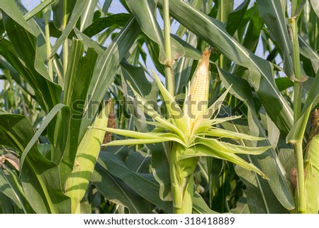Close up corn on the stalk in the field - stock photo