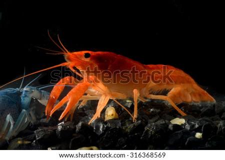 Close up crayfish in aquarium - stock photo