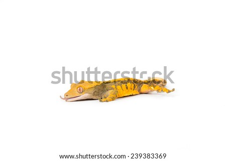 Close up crested gecko - stock photo