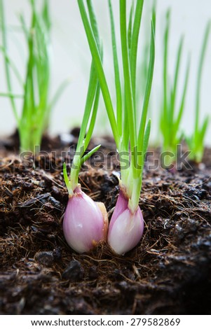 close up  cultivated organically grown red onions, red baron planting in home garden field - stock photo