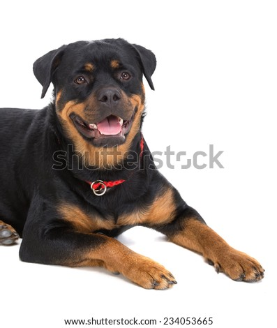 Close-up cute beautiful rottweiler on a white background. - stock photo