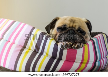 Close-up cute dog Pug puppy sleep resting on her bed and watching to camera - stock photo