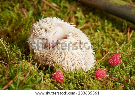 Close up Cute Little White Hedgehog Pet Relaxing on Green Grassland Red Berries. - stock photo