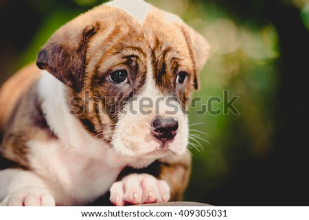 close up cute pitbull puppy dog - stock photo