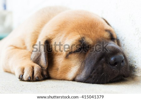 close up cute  sleeping puppy