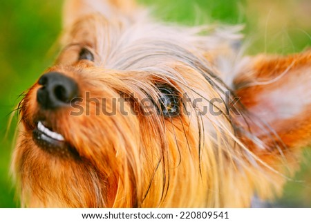 Close Up Cute Yorkshire Terrier Dog Playing In The Yard On Green Grass - stock photo