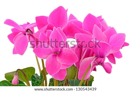 Close up cyclamen flowers isolated on white background - stock photo