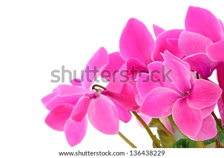 Close up cyclamen flowers isolated on white background, selective focus - stock photo
