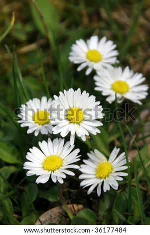 Close-up daisies on green grass
