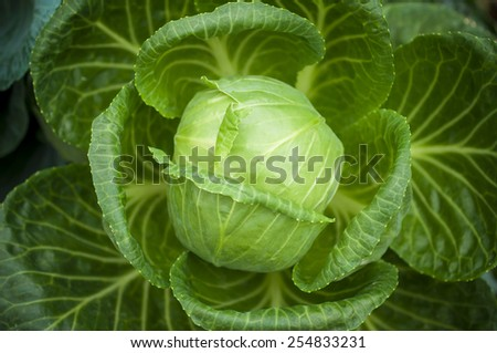 Close-up detail image of fresh cabbage in the vegetable garden