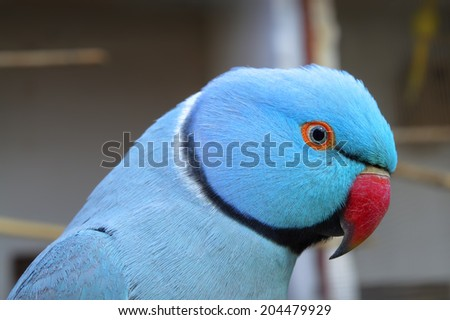 Close Up Detail of A Blue Ringneck Parakeet - stock photo